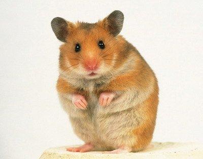 8 Cara Merawat Hamster