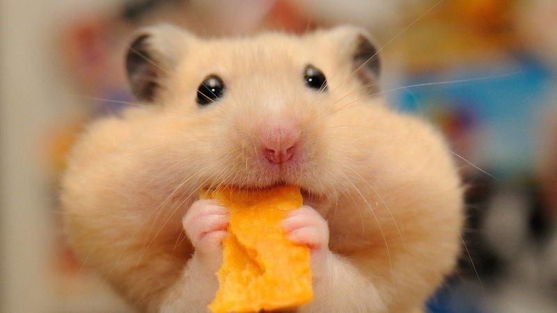 8 Cara Merawat Hamster Kesayanganmu di Rumah dengan Baik!