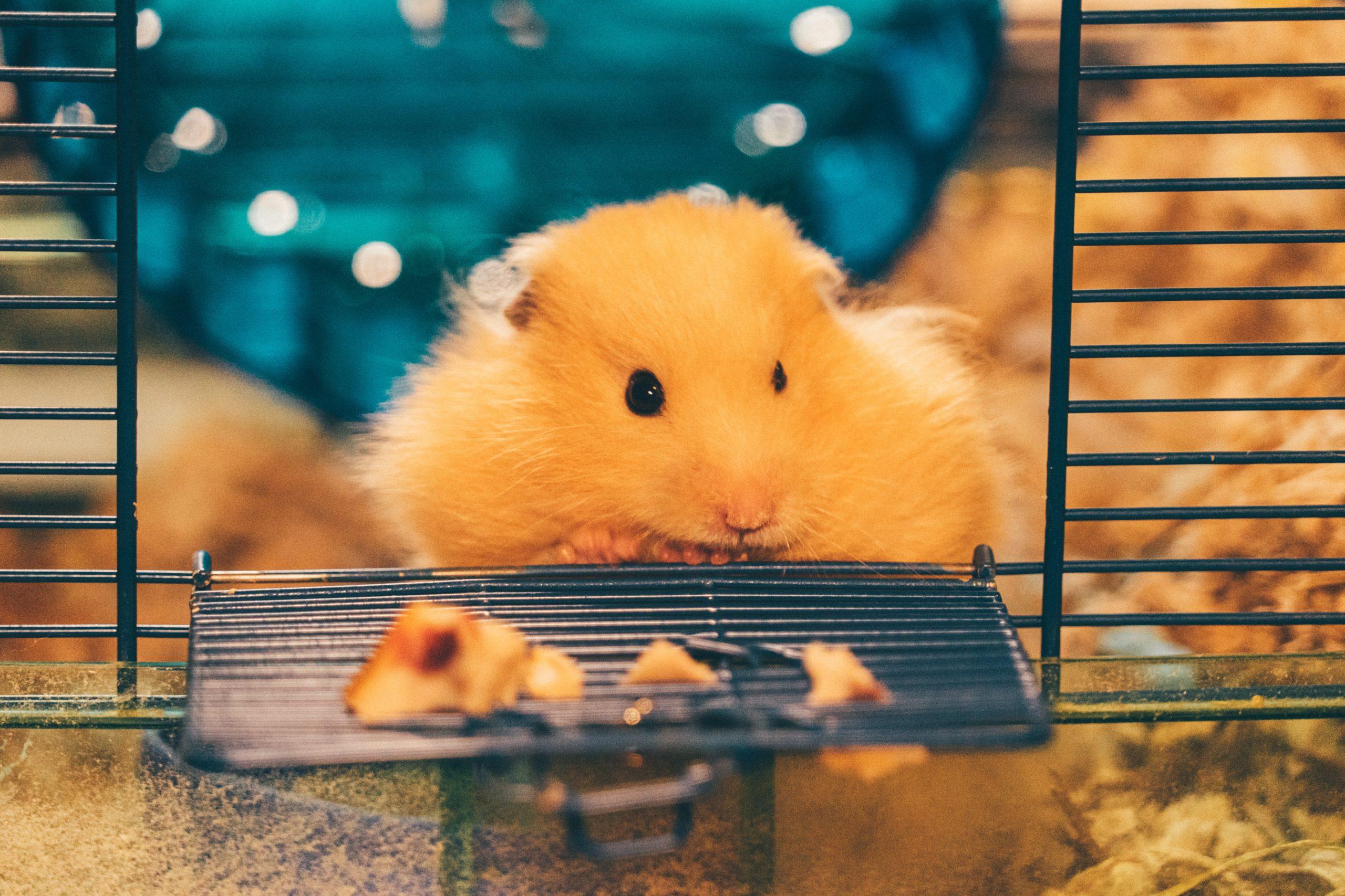 9 Cara Merawat Hamster h